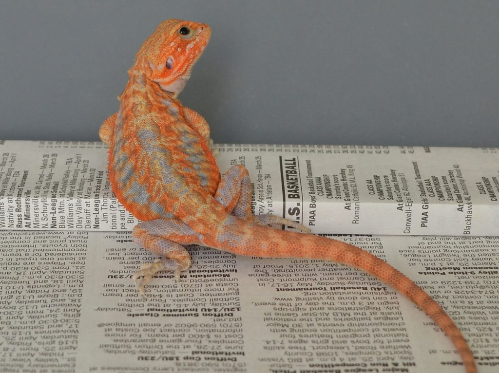 Bearded Dragon Paradox Morph