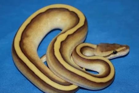 Striped Ball Python