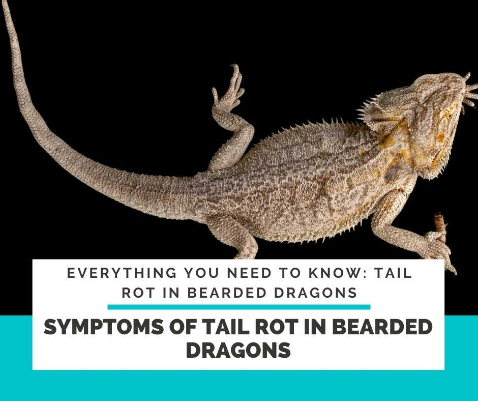 Symptoms Of Tail Rot In Bearded Dragons