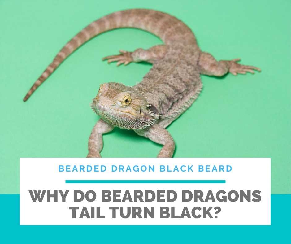 Why Do Bearded Dragons Tail Turn Black?