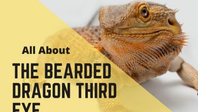 Photo of Bearded Dragon Third Eye – What You Need To Know?