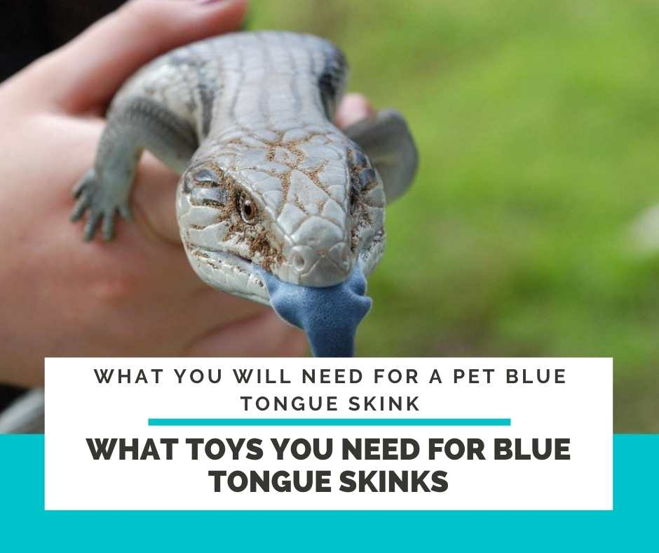 What Toys You Need For Blue Tongue Skinks