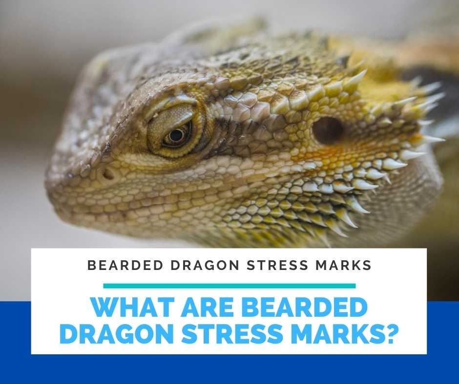 What Are Bearded Dragon Stress Marks?