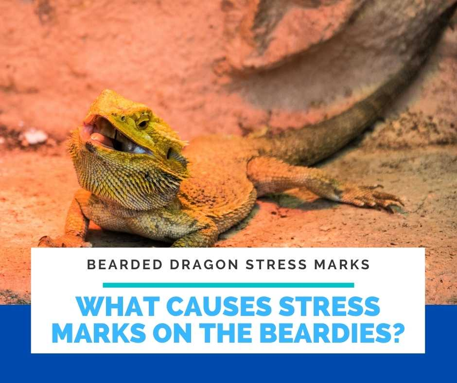 What Causes Stress Marks On The Beardies?