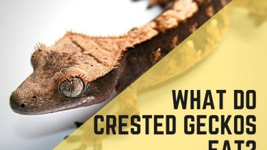 Photo of Crested Gecko Diet The Complete Guide: All Your Questions Answered