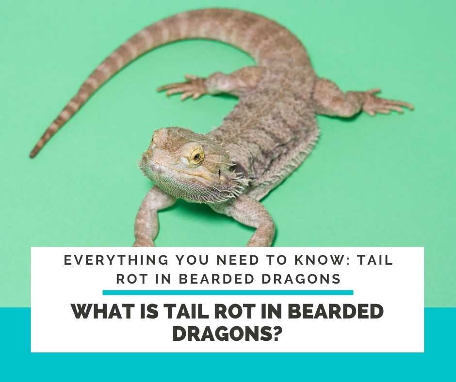 What Is Tail Rot In Bearded Dragons?