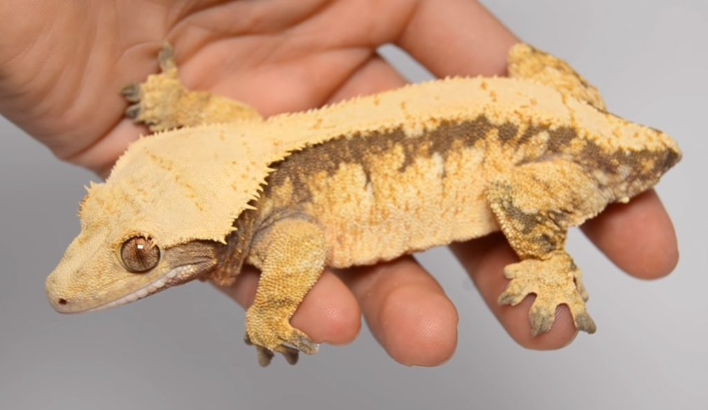 Dropped Tail rested Gecko