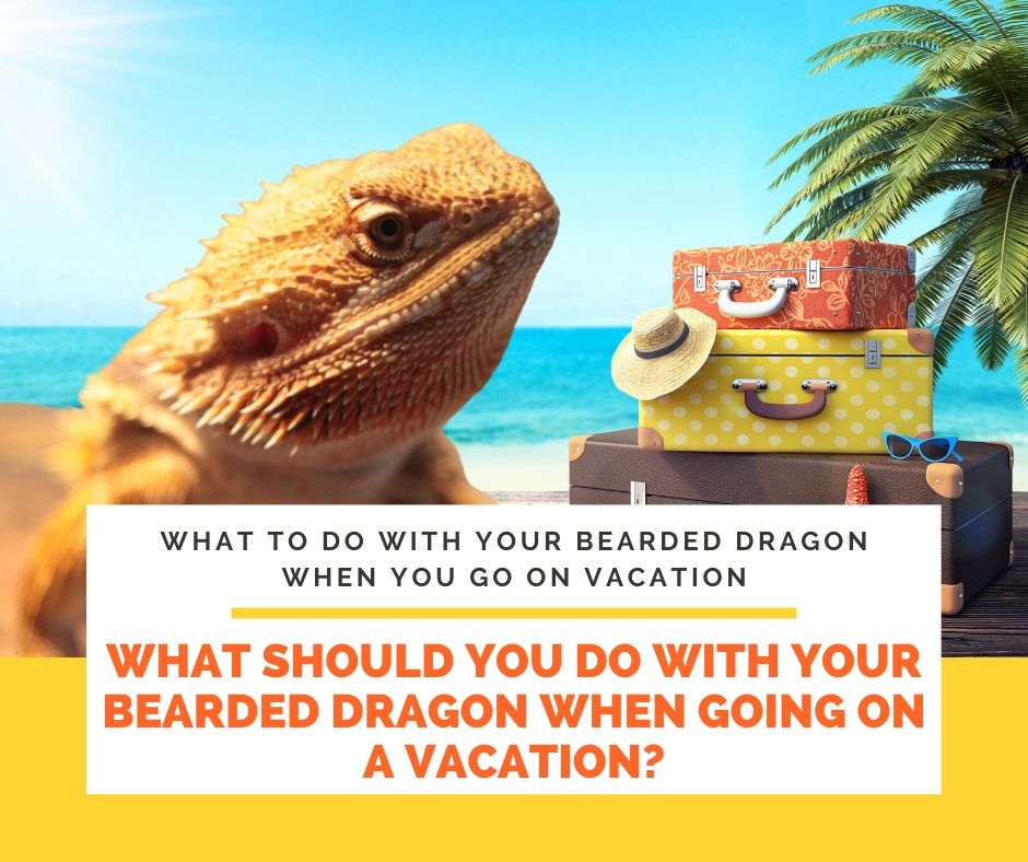 What Should You Do with Your Bearded Dragon When Going on a Vacation?