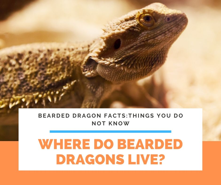 Where Do Bearded Dragons Live?