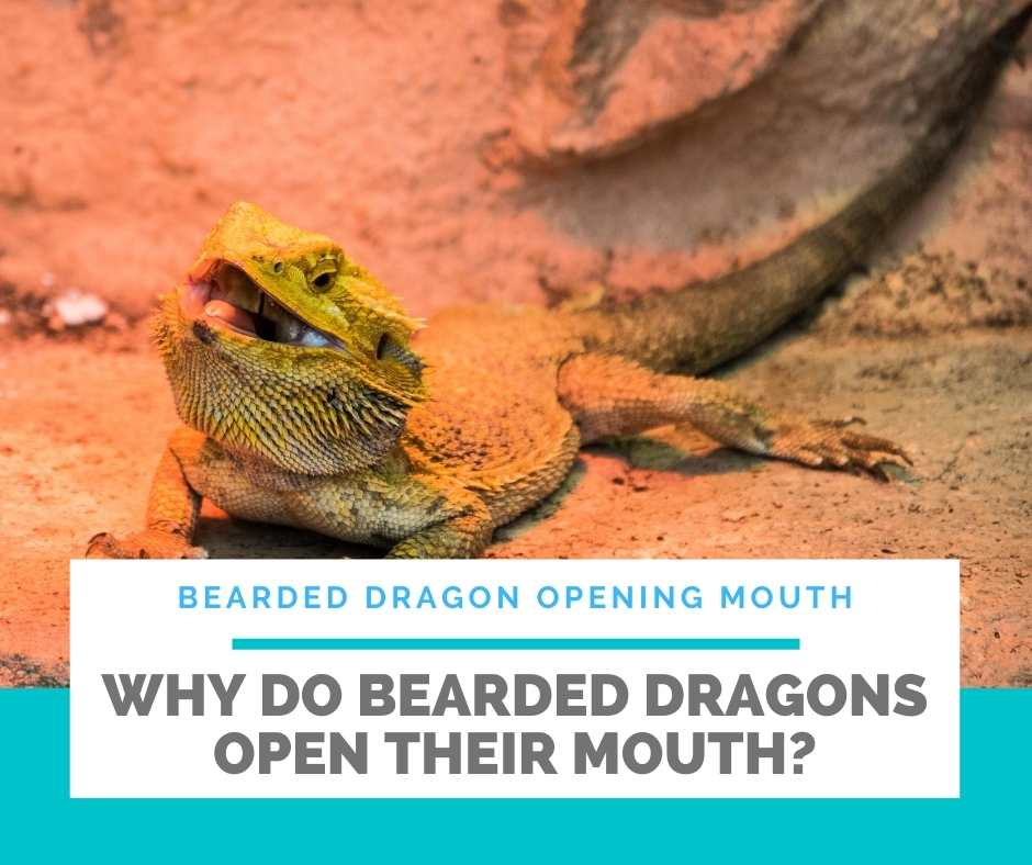 Why Do Bearded Dragons Open Their Mouth?
