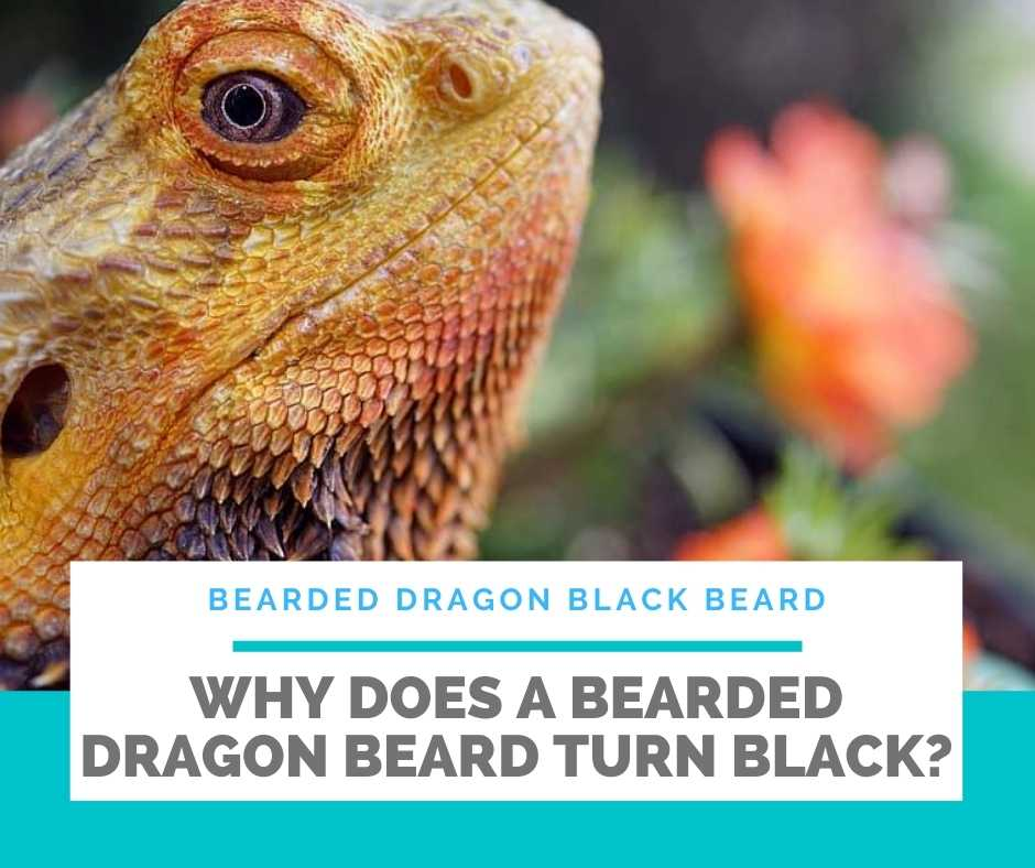 Why Does A Bearded Dragon Beard Turn Black?