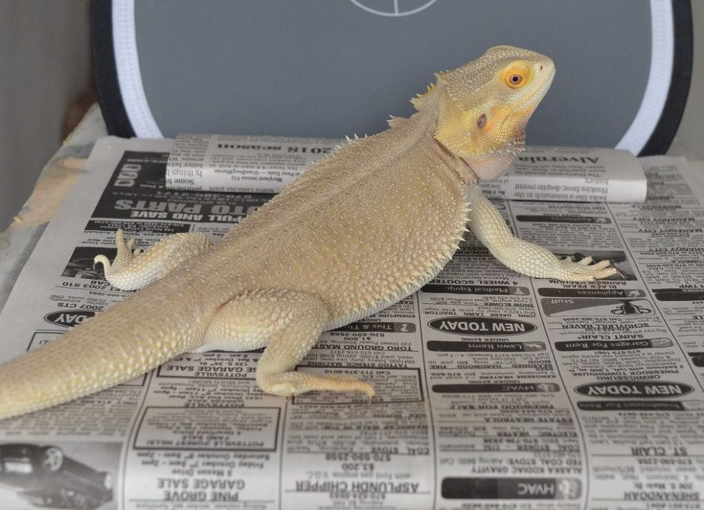 Bearded Dragon Witblits Morphs