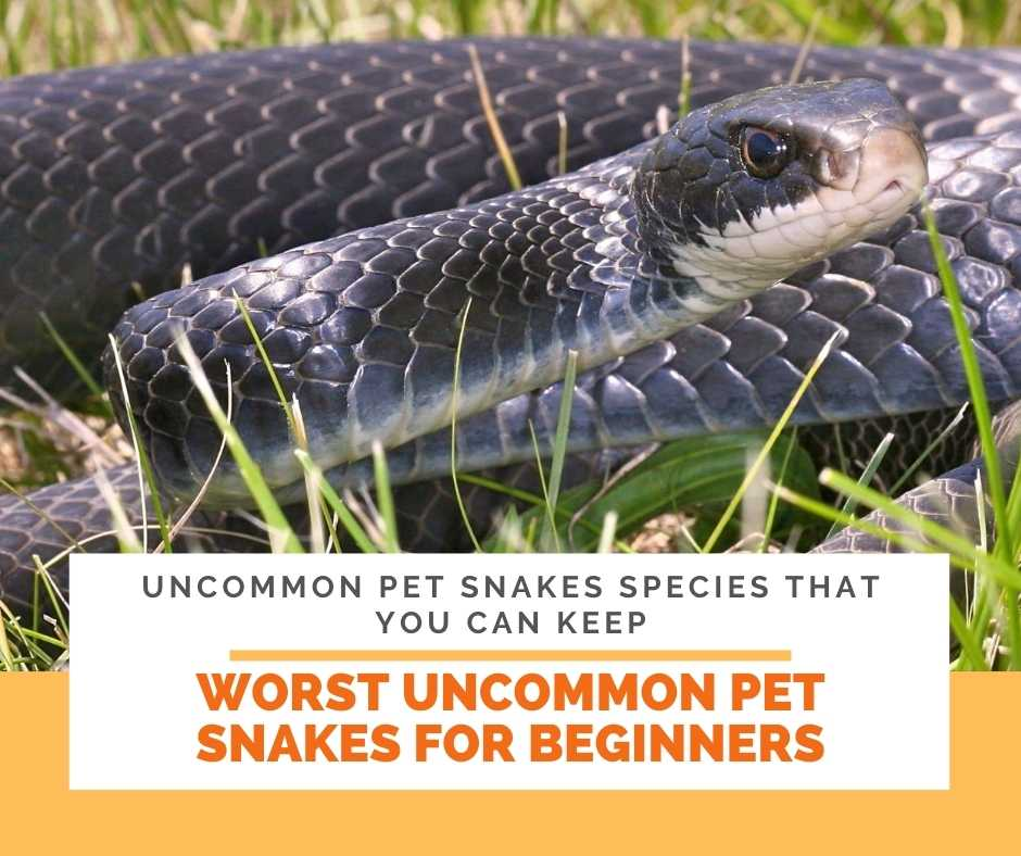 Worst Pet Snakes For Beginners: Uncommon Pet Snakes In Keeping
