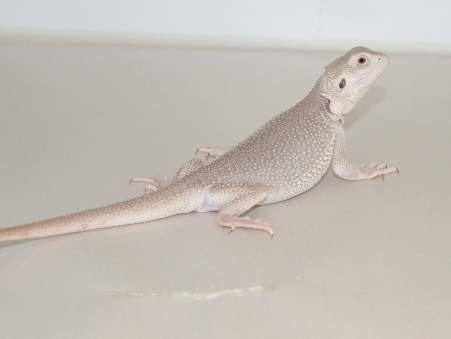 White/ Silver Bearded Dragons