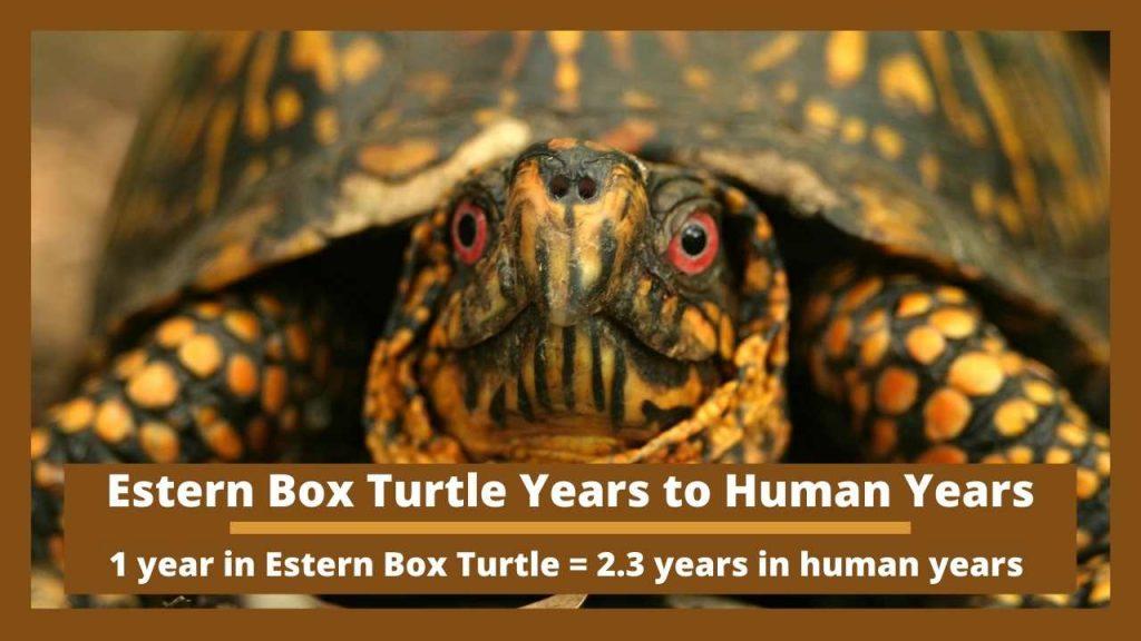 Estern Box Turtle Years to Human Years