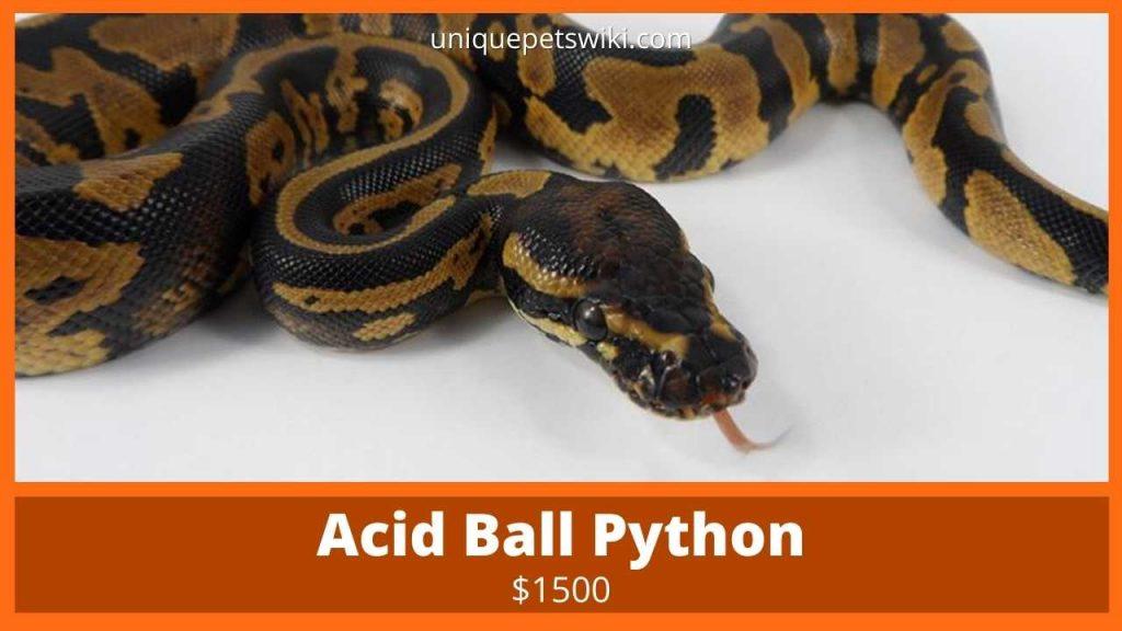 Acid Ball Pythons