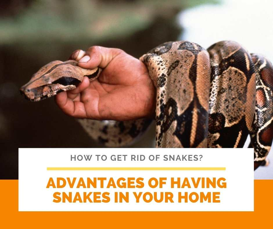 Advantages Of Having Snakes In Your Home