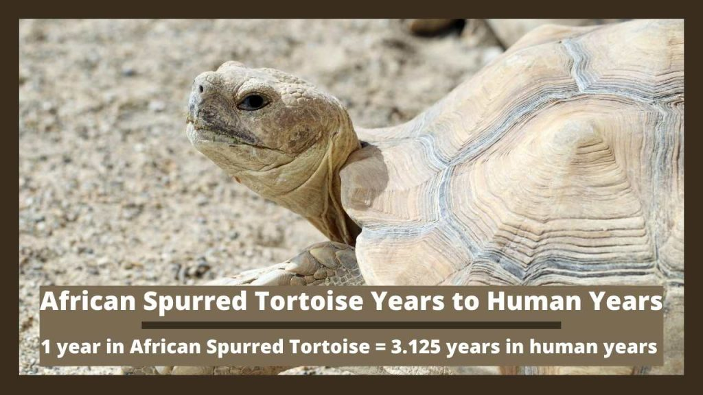 African Spurred Tortoise Years to Human Years