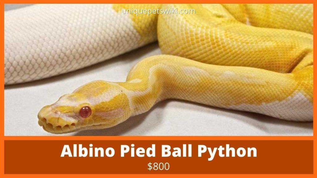 Albino Pied Ball Python