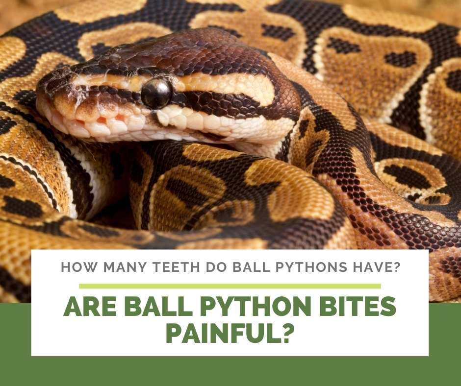 Are Ball Python Bites Painful?