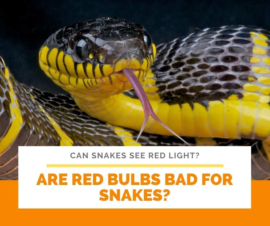 Are Red Bulbs Bad For Snakes?