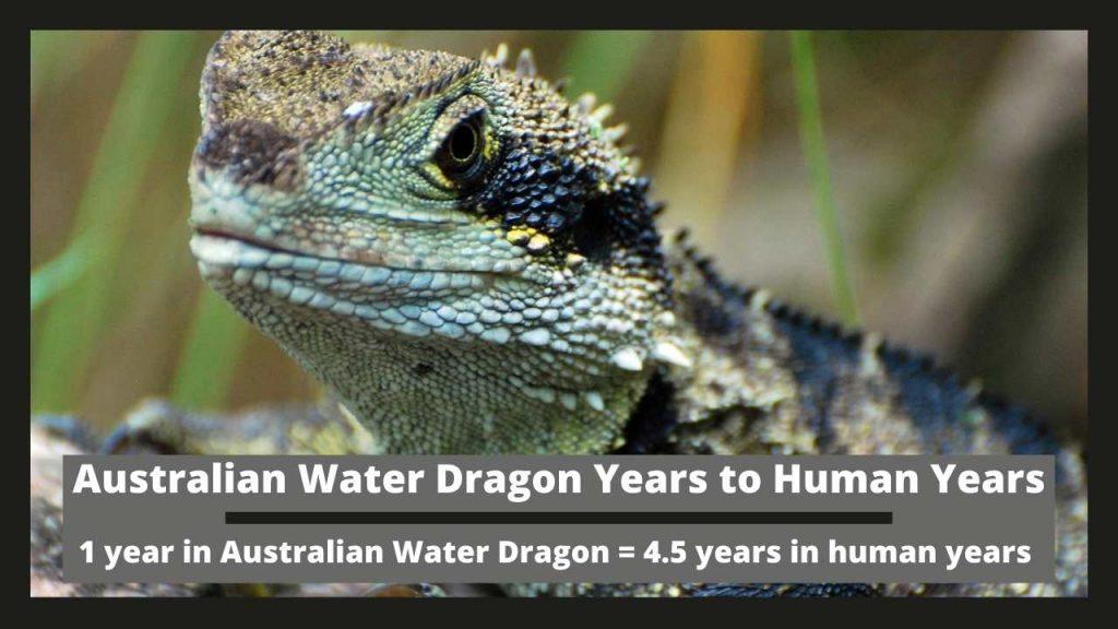 Australian Water Dragon Years to Human Years
