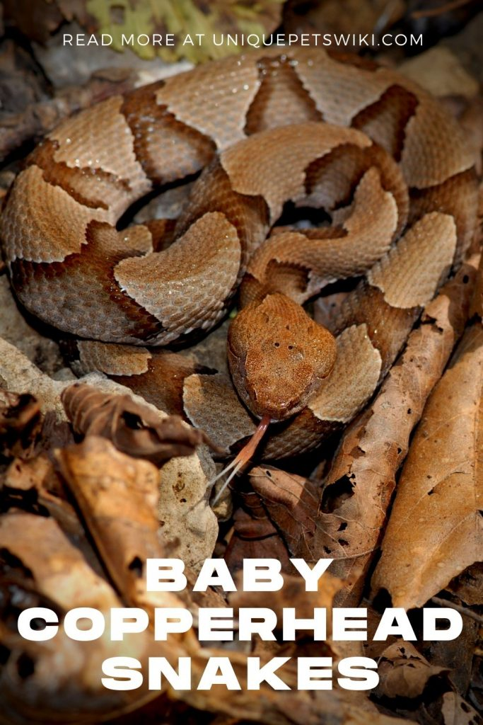 Baby Copperhead Snakes Pinterest Pin