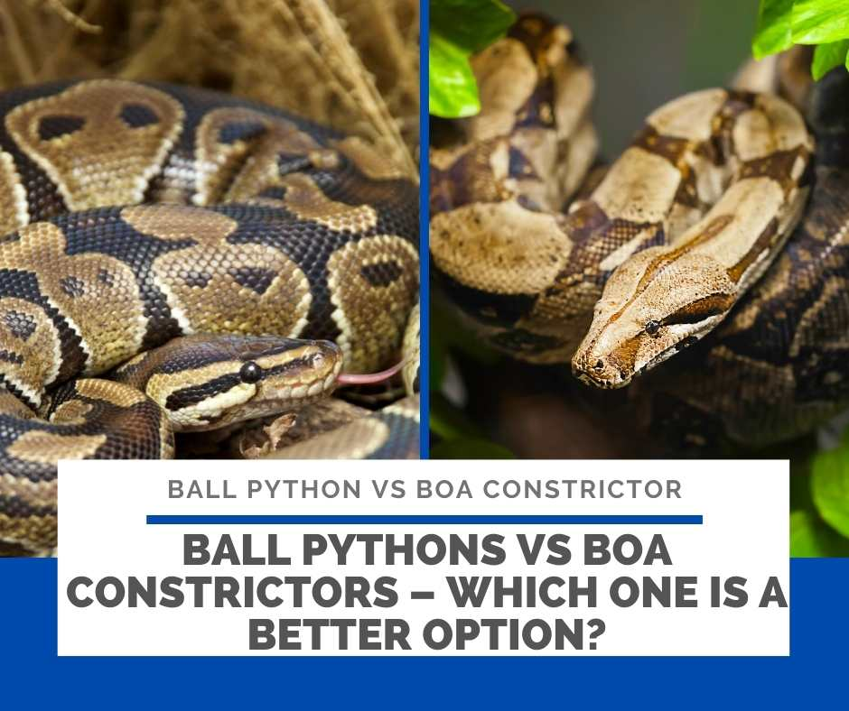 Ball Pythons Vs Boa Constrictors – Which One Is A Better Option?