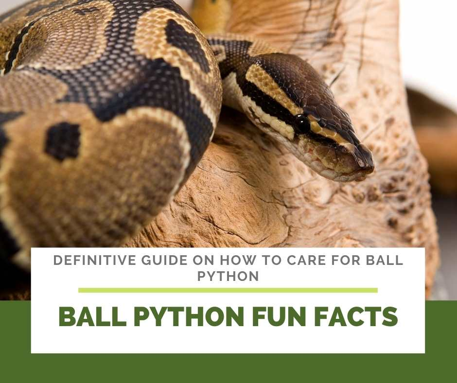 Ball Python Fun Facts