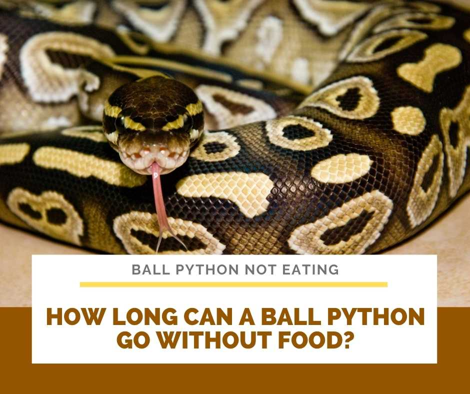 How Long Can A Ball Python Go Without Food?