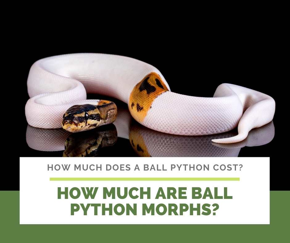 How Much Are Ball Python Morphs?