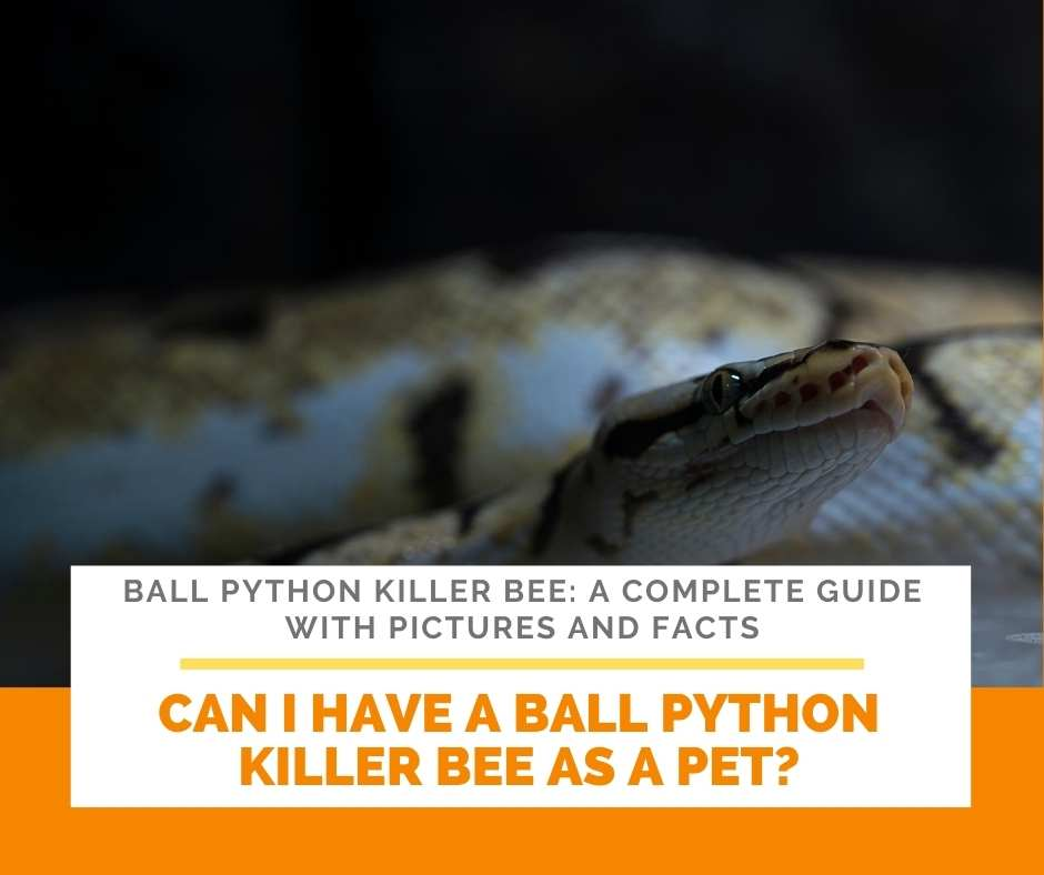 Can I Have A Ball Python Killer Bee As A Pet?