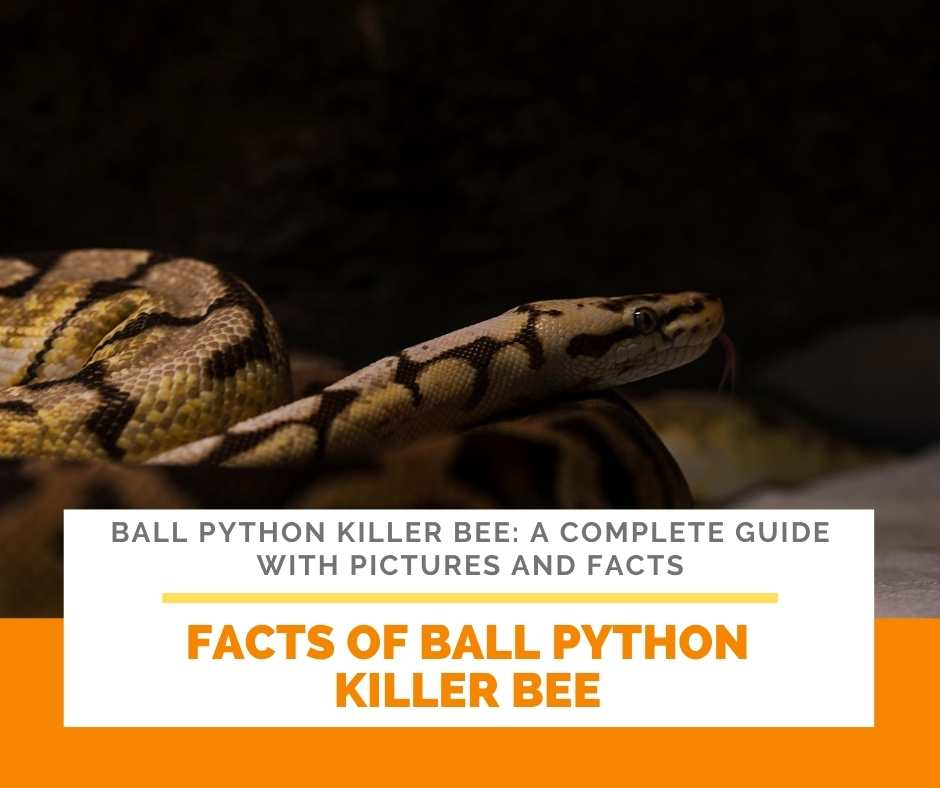 Facts Of Ball Python Killer Bee