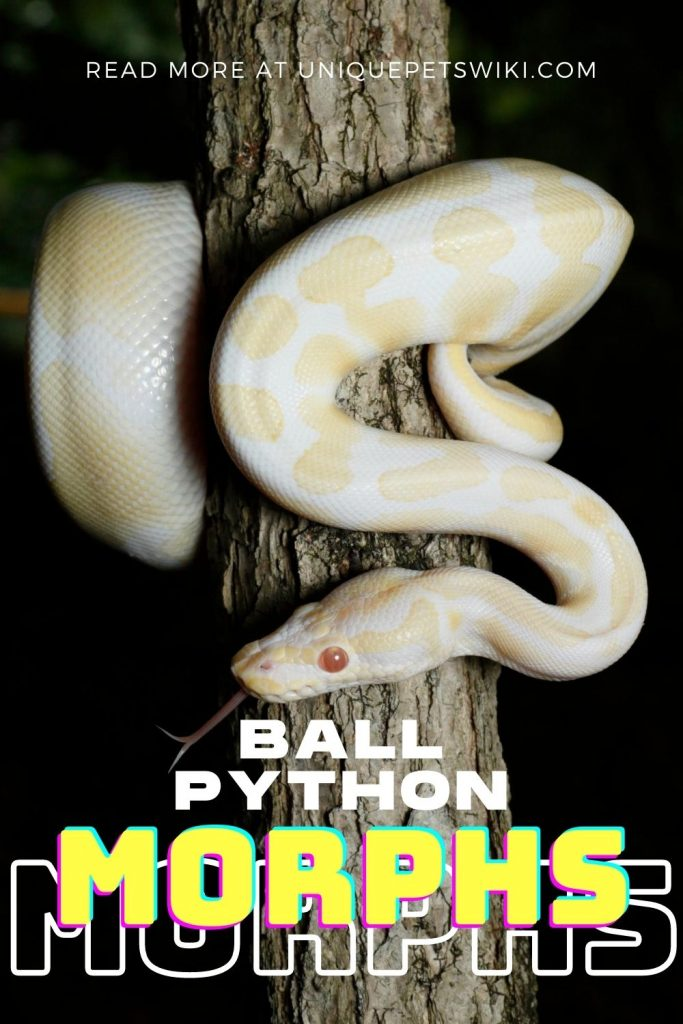 Ball Python Morphs Pinterest Pin
