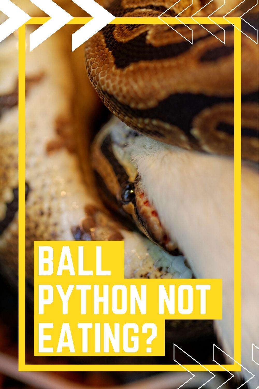 Ball Python Not Eating Pinterest Pin