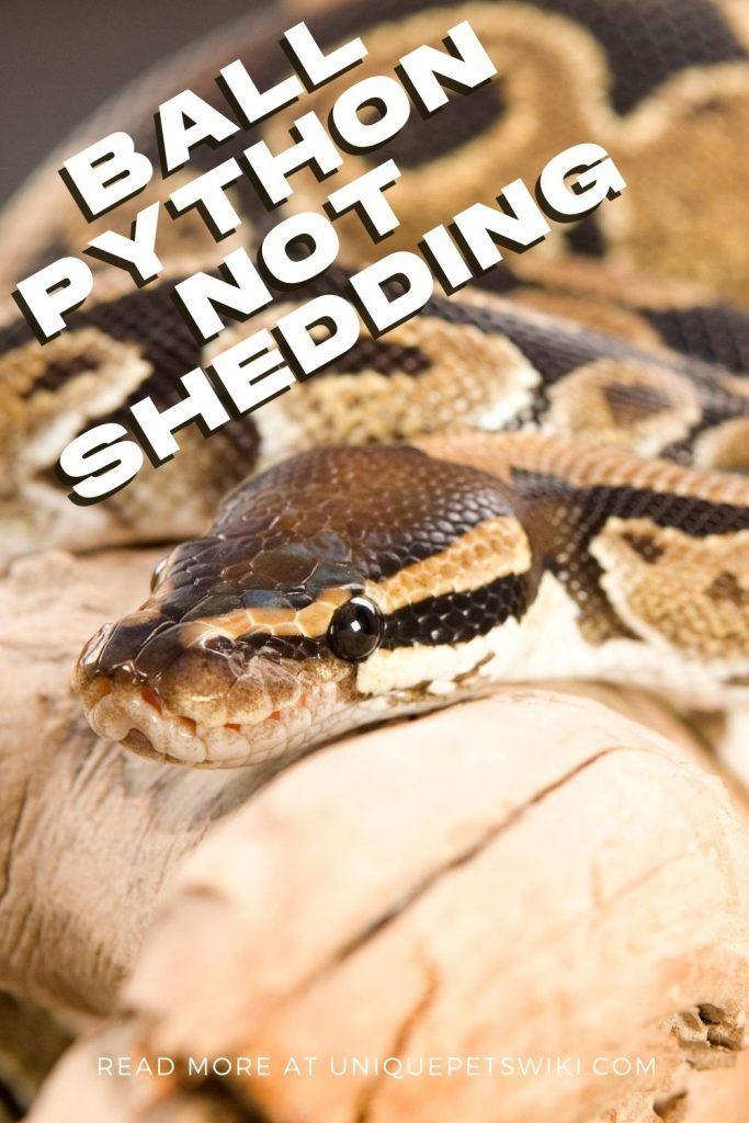Ball Python Not Shedding Pinterest Pin