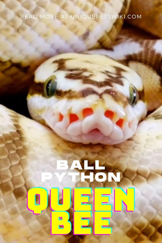 Ball Python Queen Bee Pinterest Pin