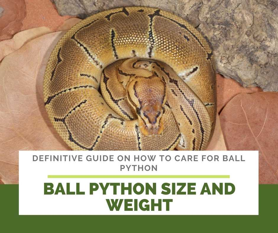 Ball Python Size And Weight