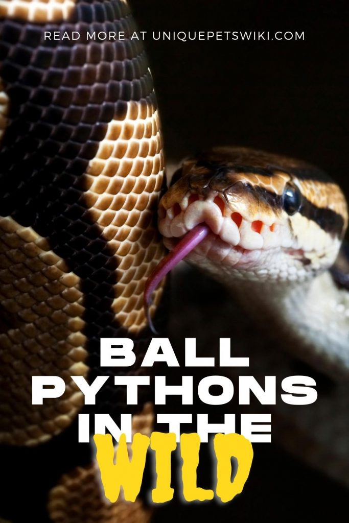 Ball Pythons in the Wild Pinterest Pin