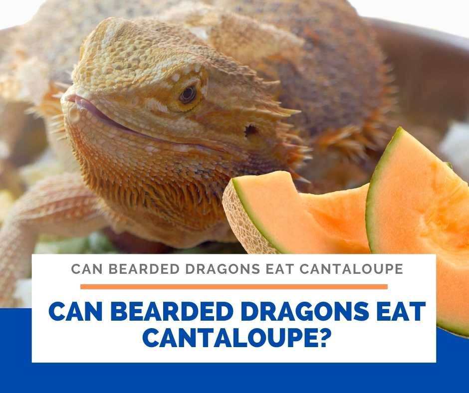 Can Bearded Dragons Eat Cantaloupe?