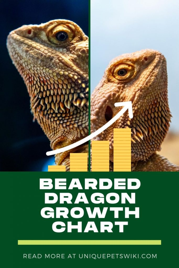 Bearded Dragon Growth Chart Pinterest Pin