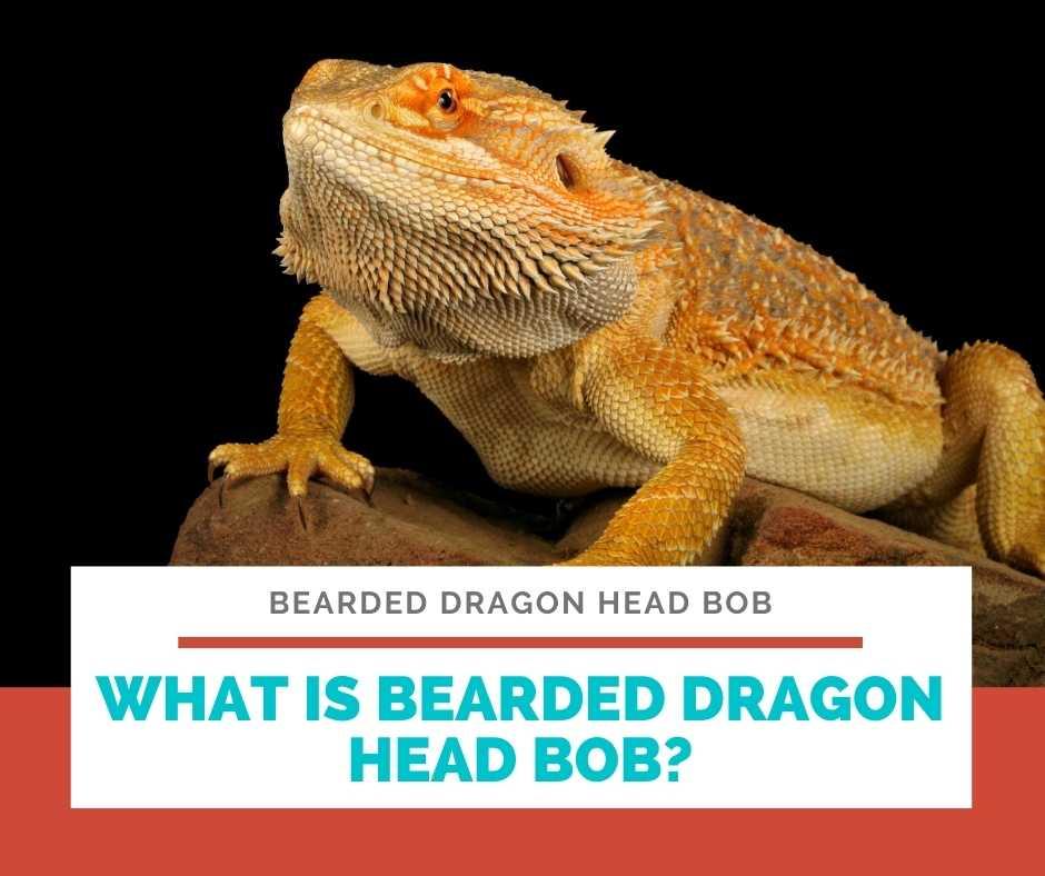What Is Bearded Dragon Head Bob?