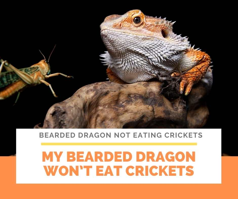 My Bearded Dragon Won't Eat Crickets