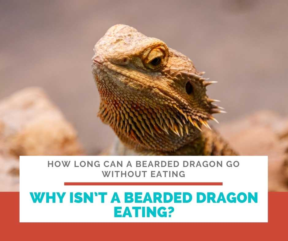 Why Isn't A Bearded Dragon Eating?