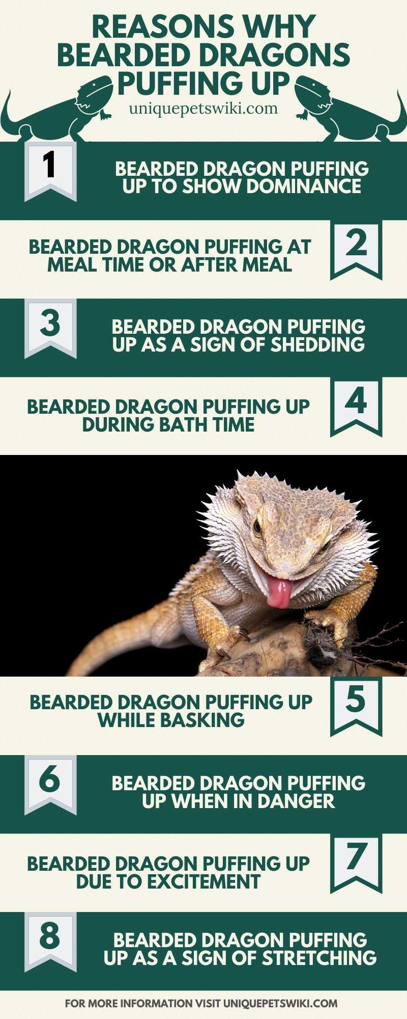 Bearded Dragons Puffing Up Reasons Infographics