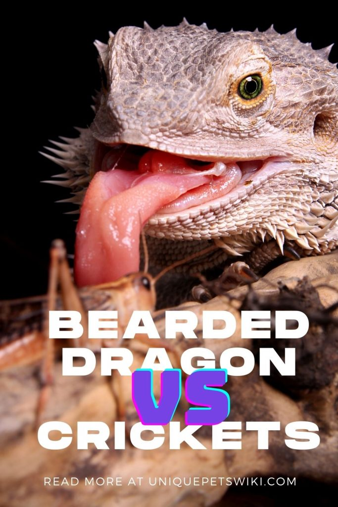 Bearded Dragon and Crickets Pinterest Pin