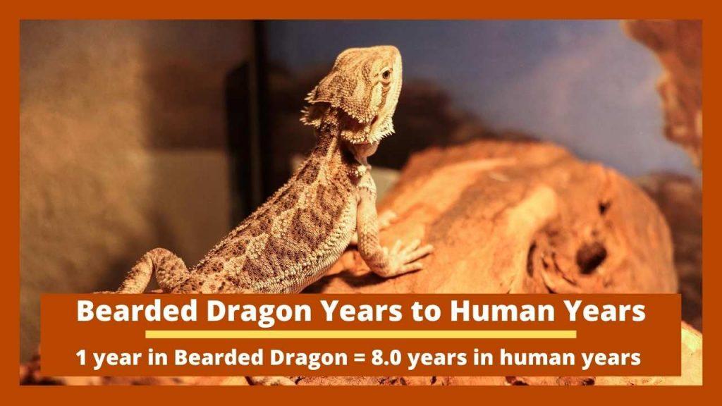 Bearded Dragon Years to Human Years