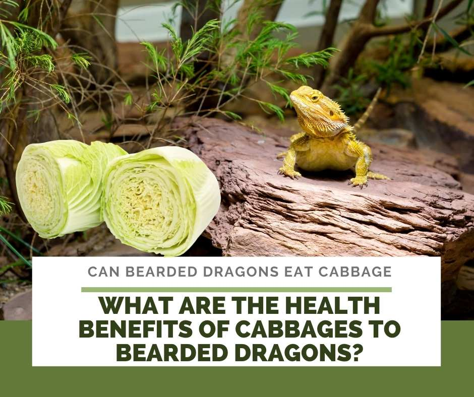 What Are The Health Benefits Of Cabbages To Bearded Dragons?