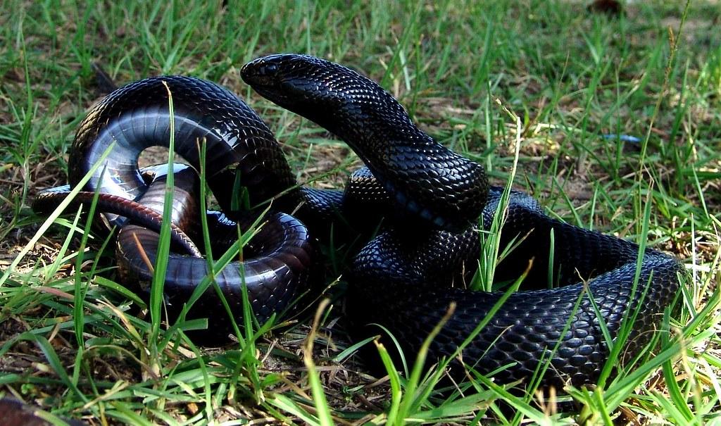 Black Pine Snake