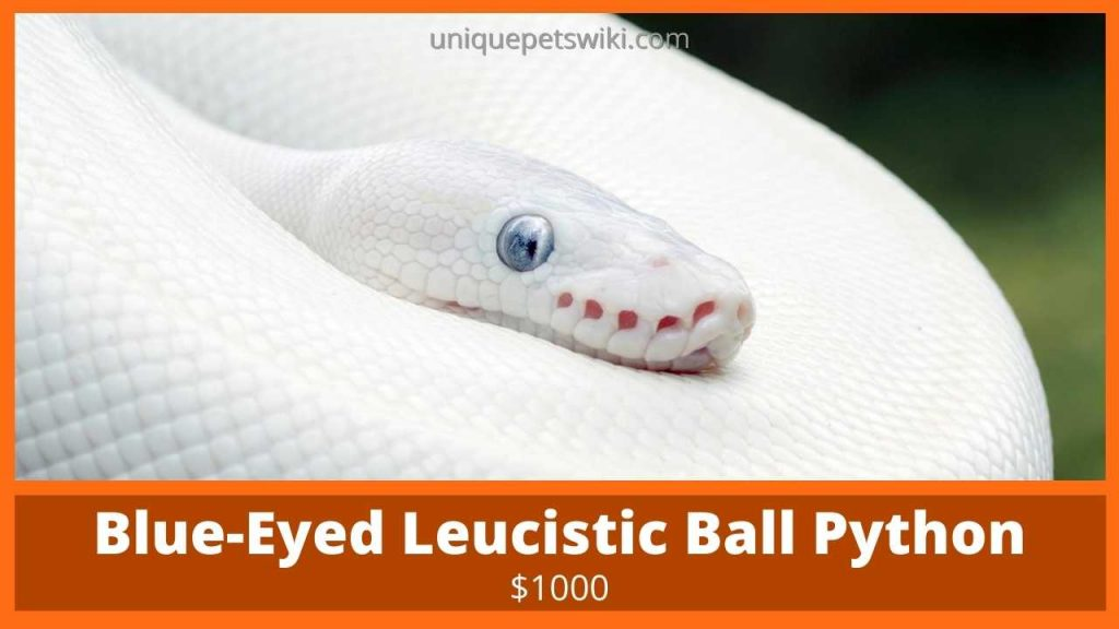 Blue-Eyed Leucistic Ball Python